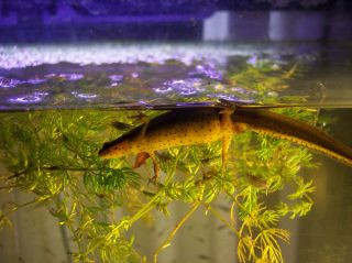 Live Freshwater Newt Pet Fish Aquarium Salamander Shrimp Tadpole Plant Koi Frog
