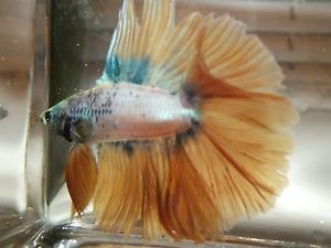Live Betta Fish Imported Pastel Marble Fullmoon Double Tail Male Mr Halloween