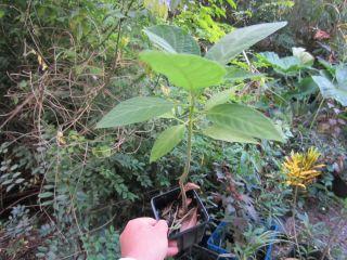 Potted Florida Angel Trumpet Fragrant Flower Tropical Plant Tree Shrub
