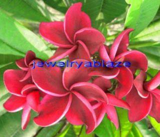 "Plumeria Frangipani Flowers Plants ""Redfire"" 50 Seeds"