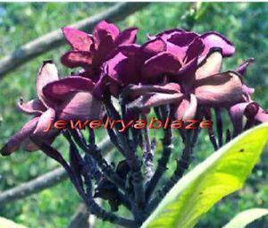 "Plumeria Frangipani Plants ""Chormuang"" 50 Seeds"