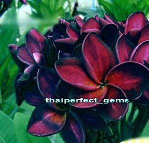 "Plumeria Plants Flowers ""Black Supron"" Fresh 55 Seeds"