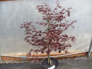 Acer Palmatum Hefner's Red 3 Gal RARE Japanese Maple