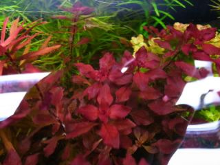 Ludwigia SP 'Red' 5 Stems Fresh Water Fish Tank Aquarium Live Plants