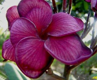 "5 Fresh Seeds Frangipani Plumeria ""Black Tiger"""