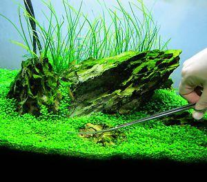 Glossostigma Elatinoides 20x Piece Live Aquarium Plant Fish Tank Java New CO2