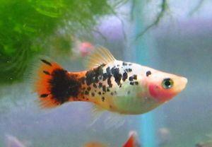 Riot platy Live Freshwater Aquarium Fish