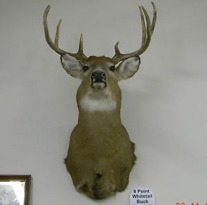 8 Pointer Whitetail Deer Shoulder Mount Taxidermy Big Rack Nice