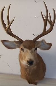 Nice Mule Deer Mount large Rack