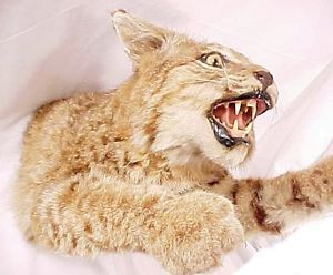 Bobcat Lynx Half Body Wall Mount Taxidermy Claws Extended to Attack