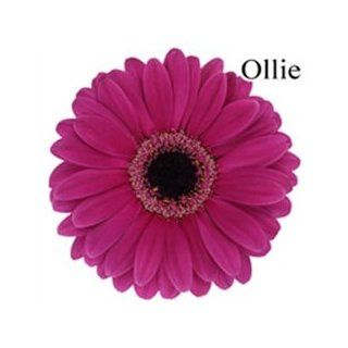 Ollie Mini Gerbera Daisies   140 Stems   Fresh Cut Format Daisy Flowers
