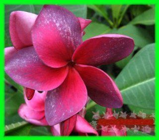 "7  15 inch rooted plumeria plants Rare Real plumeria flowers ""No.234 purple lusize"" : Patio, Lawn & Garden"